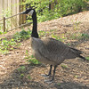 Canada Goose - Chattahoochee Nature Center, Roswell, GA