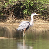 Great Blue Heron - Chattahoochee Nature Center, Roswell, GA