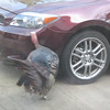 Wild Turkey Likes My New Car - Visiting Robin Sockness in Fayetteville