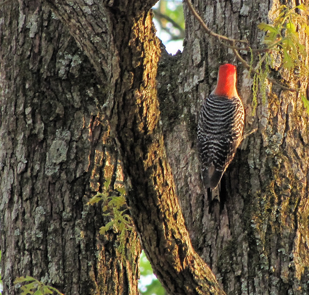 Male Red-bellied Woodpecker at Sunset at Robin's, Fayetteville, GA