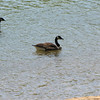 Four Canada Geese in Chattahoochee River - Roswell, GA
