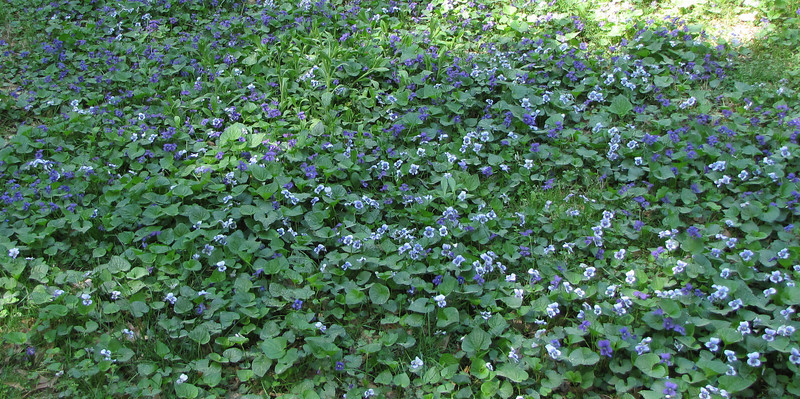 Masses of Violets - Clyde Shepherd Nature Preserve - Decatur, GA