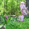 Bleeding Heart - Native Plant Botanical Garden - GA Perimeter College, Decatur, GA