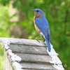 Male Eastern Bluebird on Bluebird Nestbox - Native Plant Botanical Garden - GA Perimeter College, Decatur, GA