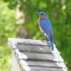 Male Eastern Bluebird - Native Plant Botanical Garden - GA Perimeter College, Decatur, GA