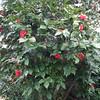 Huge Camellia Bush - North Oconee River Greenway Heritage Trail - Athens, GA  2/8/13