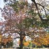 Beautiful Huge Tree - Oak Hill Cemetery - Newnan, GA