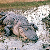 Huge Alligator Smiling For Photo - Okefenokee Swamp National Wildlife Refuge - Waycross, GA  11-28-97