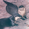 River Otters - Okefenokee Swamp National Wildlife Refuge - Waycross, GA  11-28-97