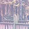 Black Vultures - Okefenokee Swamp National Wildlife Refuge - Waycross, GA  11-28-97
