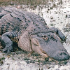 Alligator's Closeup Portrait - Okefenokee Swamp National Wildlife Refuge - Waycross, GA  11-28-97