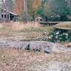 Granddaddy Alligator on Shore - Okefenokee Swamp National Wildlife Refuge - Waycross, GA  11-28-97