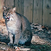 Bobcat - Okefenokee Swamp National Wildlife Refuge - Waycross, GA  11-28-97