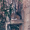 Squirrel - Okefenokee Swamp National Wildlife Refuge - Waycross, GA  11-28-97