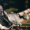 Turtles on Log - Okefenokee Swamp National Wildlife Refuge - Waycross, GA  11-28-97