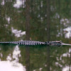 Young Alligator - Okefenokee Swamp National Wildlife Refuge - Waycross, GA  11-28-97