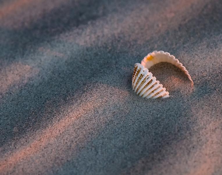 Sapelo Island Shell