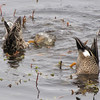 Blue-winged Teal Bottoms Up - Savannah River National Wildlife Refuge