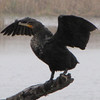 Double-crested Cormorant with Spread Wings - Savannah River National Wildlife Refuge