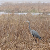 Great Blue Heron at Savannah River National Wildlife Refuge