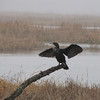 Double-crested Cormorant on Branch - Savannah River National Wildlife Refuge