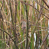 Female Cardinal in the Reeds - Savannah River National Wildlife Refuge