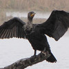 Double-crested Cormorant Sunning His Wings - Savannah River National Wildlife Refuge