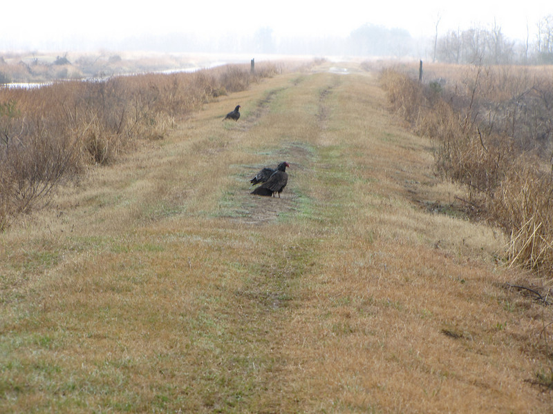 Turkey Vultures in Cleared Area - Savannah River National Wildlife Refuge
