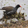 Adult Breeding Common Moorhen - Savannah River National Wildlife Refuge