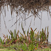 Wetland Plants - The Shore and the Water Meet - Savannah River National Wildlife Refuge