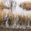 Great Blue Heron Take-off - Savannah River National Wildlife Refuge