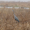 Great Blue Heron Lookout - Savannah River National Wildlife Refuge