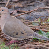 Mourning Dove - Beautiful Blend of Colors - Savannah River National Wildlife Refuge