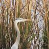 Great Blue Heron Closeup - Savannah River National Wildlife Refuge