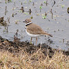 Adult Killdeer - Savannah River National Wildlife Refuge