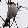 Northern Mockingbird - Savannah River National Wildlife Refuge