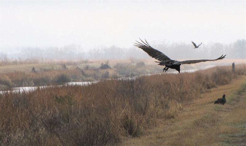 Group of Turkey Vultures - Savannah River National Wildlife Refuge