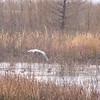 Flying Great Blue Heron - Savannah River National Wildlife Refuge