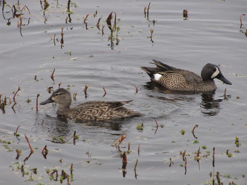 Blue-winged Teal - Adult Female and Male - Savannah River National Wildlife Refuge