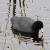 American Coot - Savannah River National Wildlife Refuge