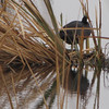 American Coot in the Reeds - Savannah River National Wildlife Refuge