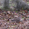 Mourning Dove - Savannah River National Wildlife Refuge