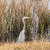 Great Blue Heron at Water's Edge - Savannah River National Wildlife Refuge
