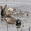 Blue-winged Teal - Savannah River National Wildlife Refuge