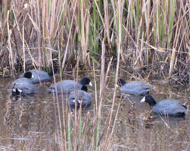 Group of American Coots - Savannah River National Wildlife Refuge