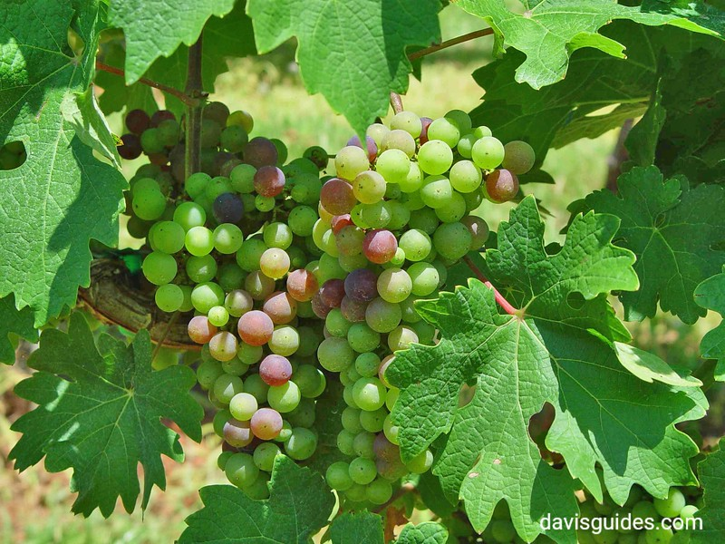 Wine grapes on a North Georgia vine