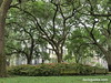 Live oaks grace a Savannah square