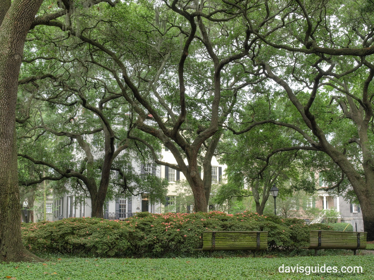 Live oaks grace a Savannah square