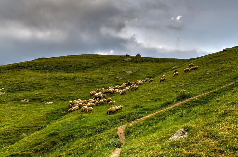 Sheep Grazing - Kazbegi, Georgia