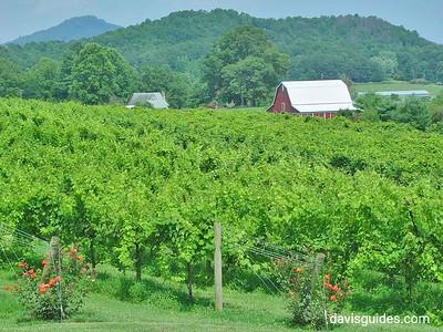 Wine grapes on the vine, North Georgia mountains